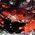 Hawaii Swimming Crab by Ed Robinson - Printscapes