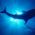 Hawaii, Whale Shark by Ed Robinson - Printscapes