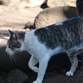 Hawaiian Feral Cat 2 by John Franke
