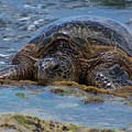 Hawaiian Green Sea Turtle by Terry Adamick