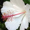 Hawaiian Hibiscus 2 Photograph by Kimberly Walker