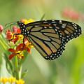 Hawaiian Monarch 1 by Michael Peychich