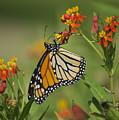 Hawaiian Monarch 2 by Michael Peychich