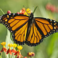 Hawaiian Monarch 3 by Michael Peychich