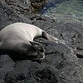 Hawaiian Monk Seal Ilio Holo I Ka Uana by Sharon Mau