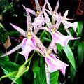 Hawaiian Orchid 31 by Randall Weidner