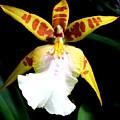Hawaiian Orchid 32 by Randall Weidner