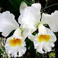 Hawaiian Orchid 35 by Randall Weidner