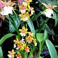 Hawaiian Orchid 36 by Randall Weidner