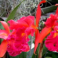 Hawaiian Orchid 37 by Randall Weidner