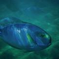 Hawaiian Tang Fish by Tommy Anderson