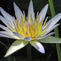 Hawaiian Water Lily 05 - Kauai, Hawaii by Pamela Critchlow