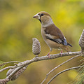 Hawfinch Coccothraustes Coccothraustes by Alon Meir