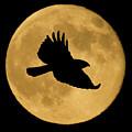 Hawk Flying By Full Moon by Shane Bechler