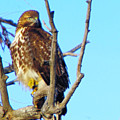 Hawk In A Tree by Jeff Swan