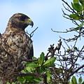 Hawk In The Tree by Harry Coburn