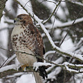 Hawk In Winter by David Arment