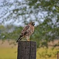 Hawk On A Fence Post by M Dale