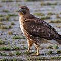 Hawk On A Walk by Randall Ingalls