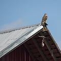Hawk On The Barn by Loree Johnson