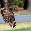 Hawk On The Fly by Rosanne Jordan