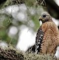 Hawk On Watch by Diann Fisher