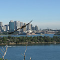 Hawk Over Sydney Harbour by Suzanne Vreeland