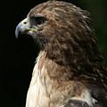 Hawk Portrait by Heather Coen