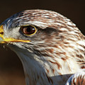 Hawk by Safe Haven Photography Northwest