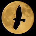 Hawk Silhouette by Shane Bechler