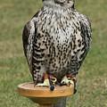 Hawk by Terri Waters