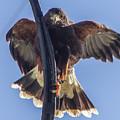 Hawk Watch 6 by Phyllis Spoor