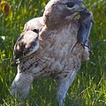 Hawk With Dinner by Christine Russell
