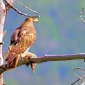 Hawk With Prey by Jeff Swan