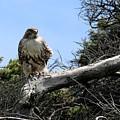Hawk's Perch by Christy Pooschke