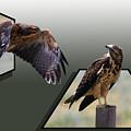 Hawks by Shane Bechler