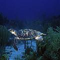 Hawksbill Sea Turtle 1 by Pauline Walsh Jacobson