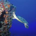 Hawksbill Sea Turtle 10 by Pauline Walsh Jacobson