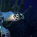 Hawksbill Sea Turtle 2 by Pauline Walsh Jacobson