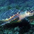 Hawksbill Sea Turtle 3 by Pauline Walsh Jacobson