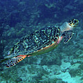Hawksbill Sea Turtle 5 by Pauline Walsh Jacobson