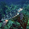 Hawksbill Sea Turtle 7 by Pauline Walsh Jacobson