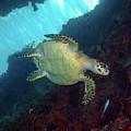 Hawksbill Sea Turtle 8 by Pauline Walsh Jacobson