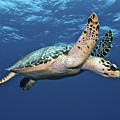 Hawksbill Sea Turtle In Mid-water by Karen Doody