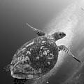 Hawksbill Turtle Ascending by Steve Jones
