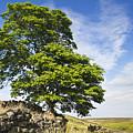 Haworth Moor Sycamore by David Taylor
