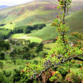 Hawthorn Branch With View To Wicklow Hills. Ireland by Jenny Rainbow