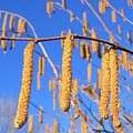 Hazelnut Tassels by Will Borden