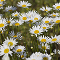 He Loves Me Daisies by Kathy Clark