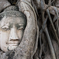 Head Of Buddha Statue In The Tree Roots by Kiyoshi Hijiki